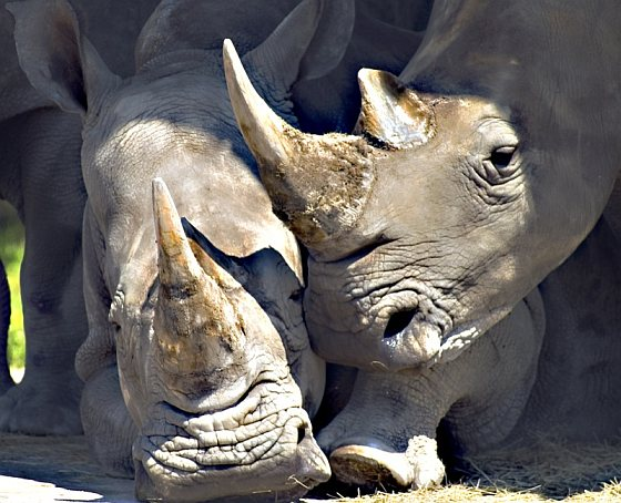 Neushoorns Rhino Rescue Project