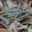 Openlijk verborgen: wetenschappers ontdekken nieuwe kikkersoort middenin New York