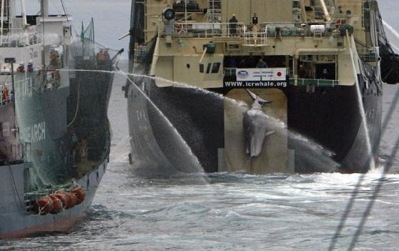 Nisshin maru - walvisvaartseizoen