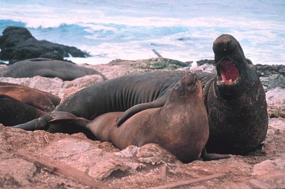 Noordelijke zeeolifanten - moorden voor de wetenschap