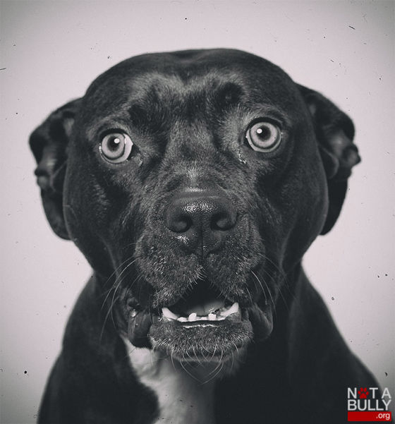 Not a Bully hond pitbull