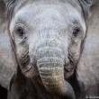 Jonge olifanten gevangen voor verkoop aan dierentuinen