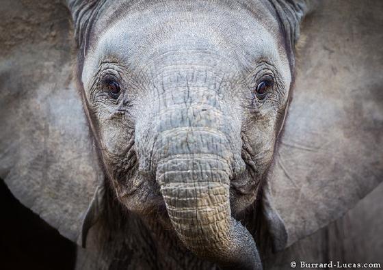 jonge olifanten