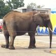 Dierenorganisaties: Neem olifant Buba en zebra's Circus Freiwald in beslag