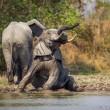 Steeds meer olifanten vergiftigd met cyanide