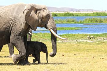 Olifant en jong