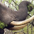 Afrikaanse landen voor legaliseren verkoop ivoor