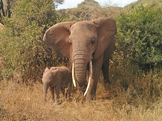 ivoorhandelaar
