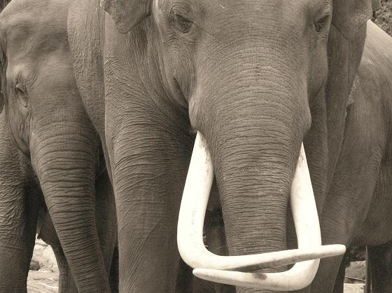 ivoorhandel