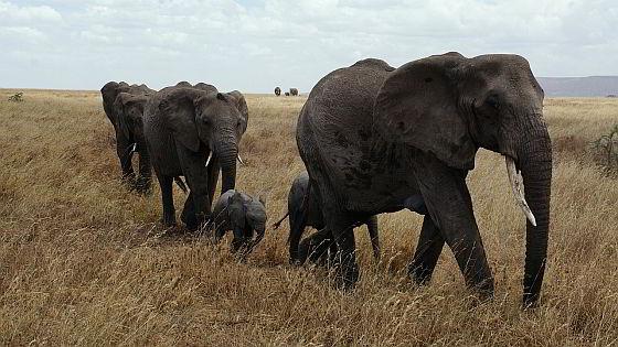 Olifanten Afrika ivoor