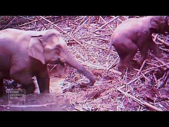 Olifanten Cambodja
