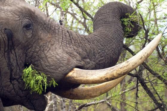 Olifant slagtanden - handel in ivoor