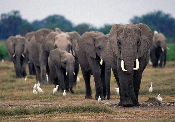 Afrikaanse olifanten - 20.000 olifanten
