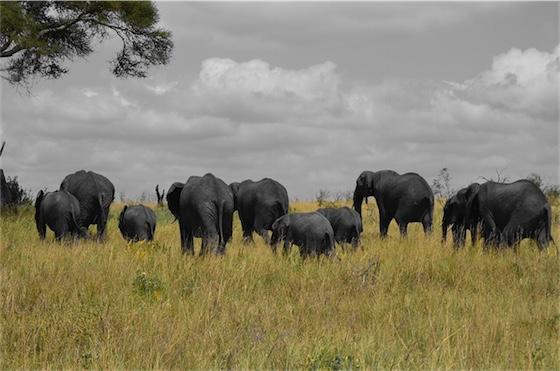 olifanten in Tanzania