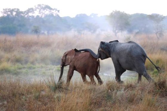 olifantenwezen