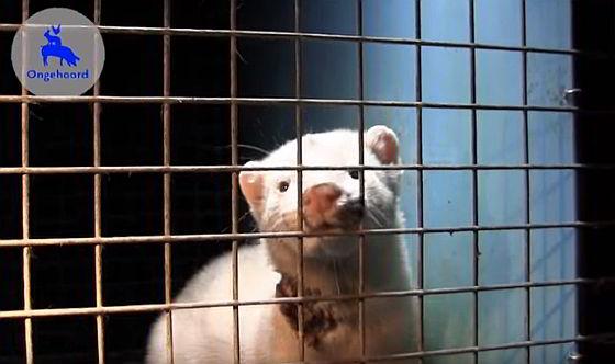 Ongehoord nertsenfokkerij - nertsenfokkerijen tonen veel dierenleed