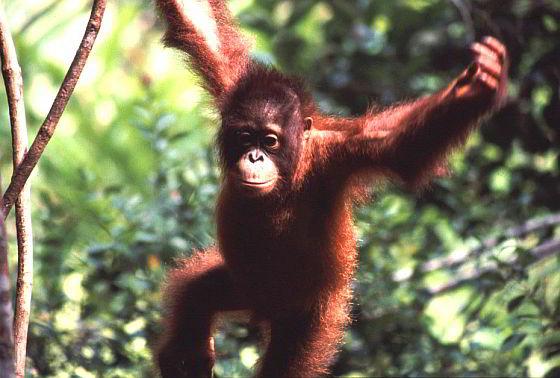 Orang-oetan - Borneo - Aanhoudende bosbranden bedreigen orang-oetans