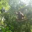 Orang-oetans evolueren door uit bomen te komen