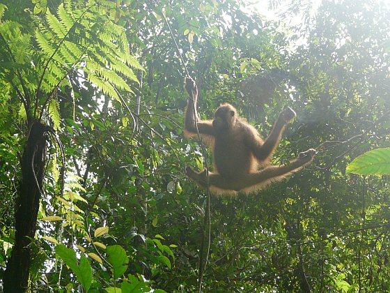 Orang-oetan - Sumatra