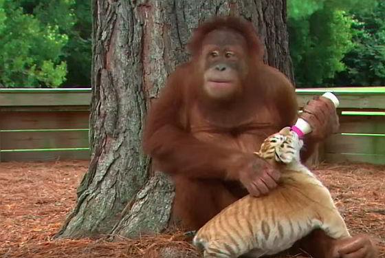 Orang-oetan met tijgertje
