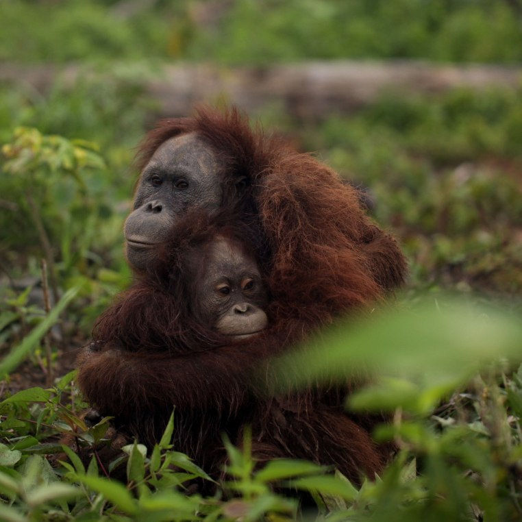 Orang-oetan baby palmolie
