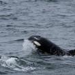 Weetjes: Orka's, de grootste dolfijnen ter wereld