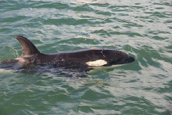baby-orka