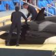 'Geleende' orka's lusteloos aangetroffen in Loro Parque