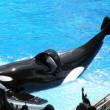 Gezondheidstoestand orka Tilikum zorgwekkend