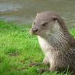 Otter in de Oostvaardersplassen