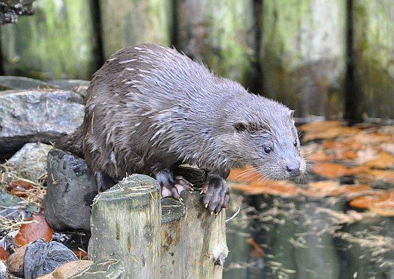 Jonge Otter