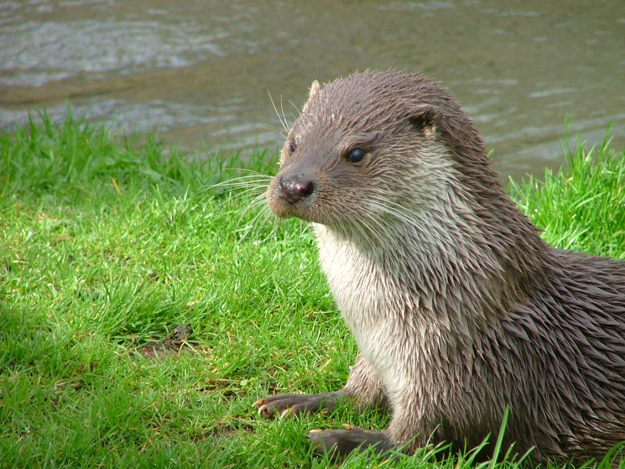 Europese otter.