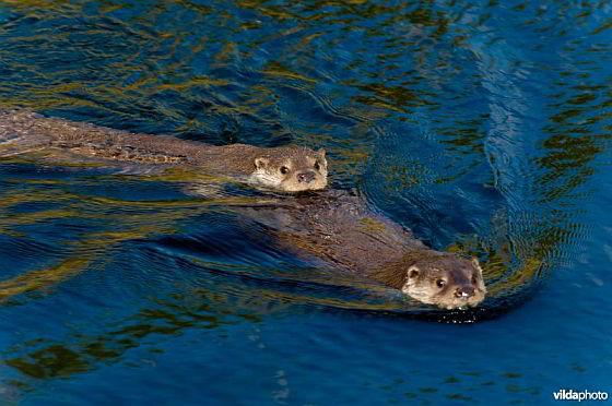 Otters - otterfamilie
