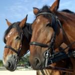paarden - sinterklaas