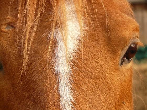 paardenbeul
