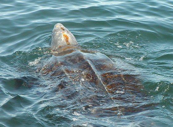 Pacifische lederschildpad