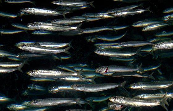 Pacifische sardines