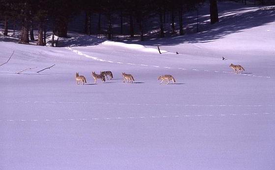 Pack coyotes - coyote-jachtwedstrijden
