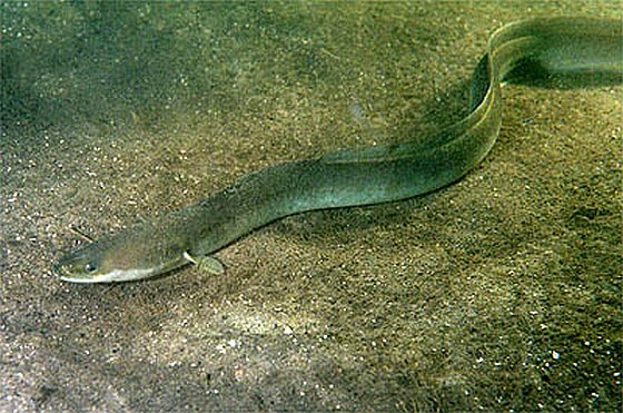 Paling - visstand waddenzee