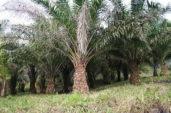Palmoliebedrijf