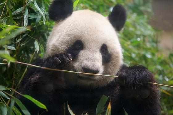 Panda bamboe