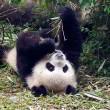 Thieme stelt vragen over panda's voor Ouwehands Dierenpark