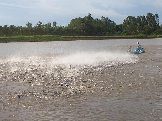 Pangasius Mekong Delta