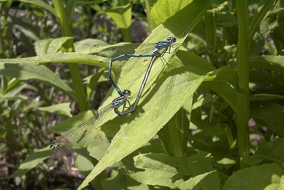 Parende azuurwaterjuffers - libellen