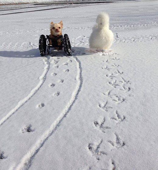 Penny & Roo in de sneeuw - zijdehoen