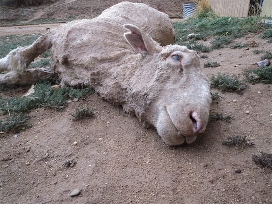 PETA - schapen - wolindustrie