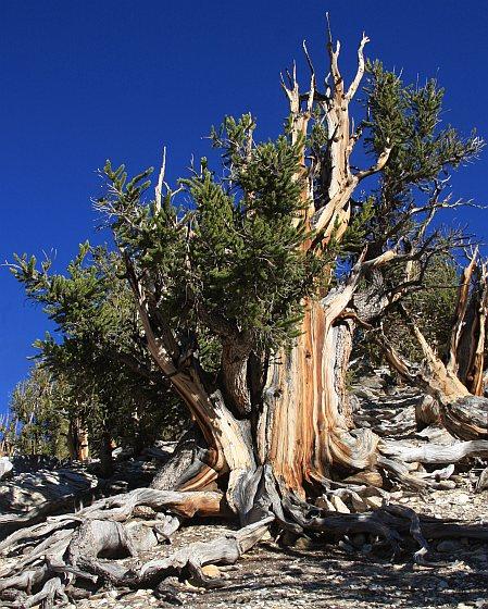 Pinus longaeva - met uitsterving bedreigd