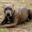 Aanhoudingen in lopend onderzoek Nederlandse hondengevechten