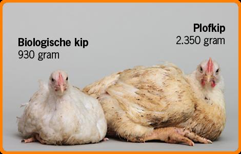 Plofkip - Unilever Nederland