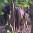 Pony aangerand in Den Haag op klaarlichte dag (video)